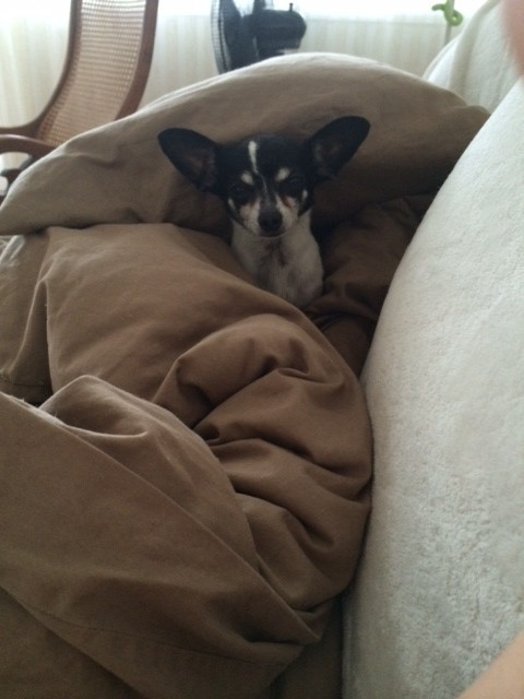 Vinny's bro Milo, burrowing in the duvet. :) <3 Cuddling watching movies with us on the couch!